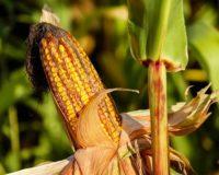 """Πρόεδρος ΕΑΣ Λεχαινών: """"Μαύρο καλαμπόκι"""" και εισαγωγές τα μεγάλα προβλήματα των καλαμποπαραγωγών"""
