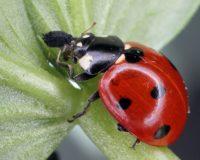 Βιολογική καταπολέμηση εντομολογικών προσβολών με χρήση ωφέλιμων εντόμων και ακάρεων