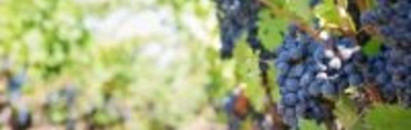 Αίτημα τριών δημάρχων της Κορινθίας για αποζημίωση παραγωγών της σουλτανίνας