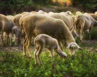 «FEED FOR MILK»: Ανάπτυξη καινοτόμων μιγμάτων συμπυκνωμένων ζωοτροφών για τη βελτιστοποίηση του παραγόμενου πρόβειου γάλακτος