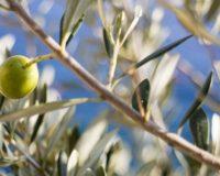 Επέκταση των μέτρων στήριξης στους παραγωγούς ελιάς της Στερεάς Ελλάδας