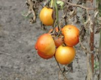 Σημαντική ανακάλυψη για την αντιμετώπιση του ιού της καστανής ρυτίδωσης της ντομάτας