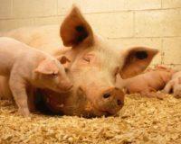 Σταδιακή κατάργηση εκτροφής ζώων σε κλουβιά
